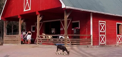 Image of the Timber Bears Barnyard. In the image the big red barn is in the background with a goat in the center of the image.