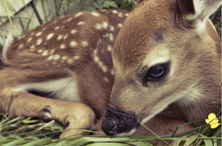 A fawn laying down with a yellow flower in the grass he is laying on